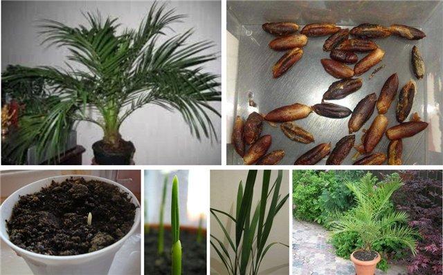Выращиваем из косточки финиковую пальму. 14026.jpeg
