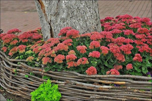 Растение в саду – ОЧИТОК – сорта, уход и выращивание. Растение в саду – ОЧИТОК – 2