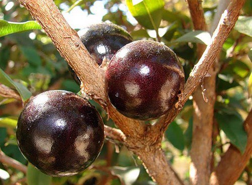 Виноградное дерево из Бразилии дает отличное вино. Джаботикаба- бразильское 3