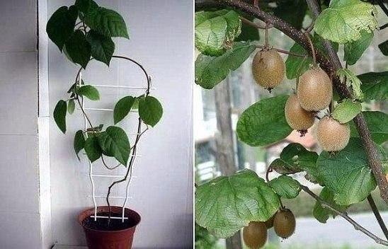 Киви из семян: секреты выращивания на подоконнике