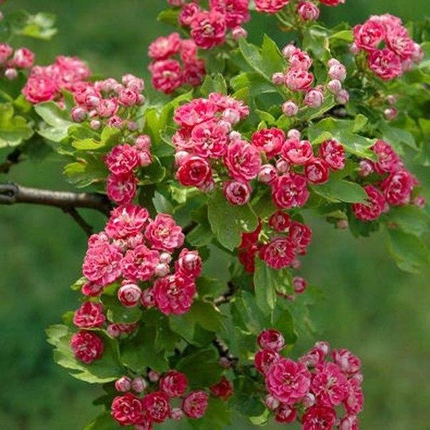 Самые красивые декоративные цветущие кустарники и деревья. Самые красивые декоративные 3