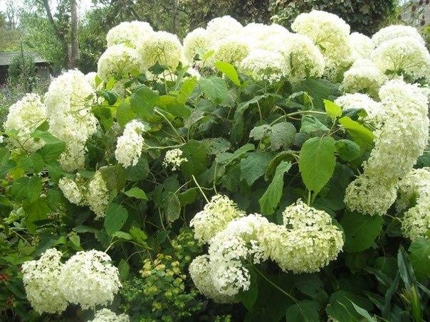 Самые красивые декоративные цветущие кустарники и деревья. Самые красивые декоративные 4