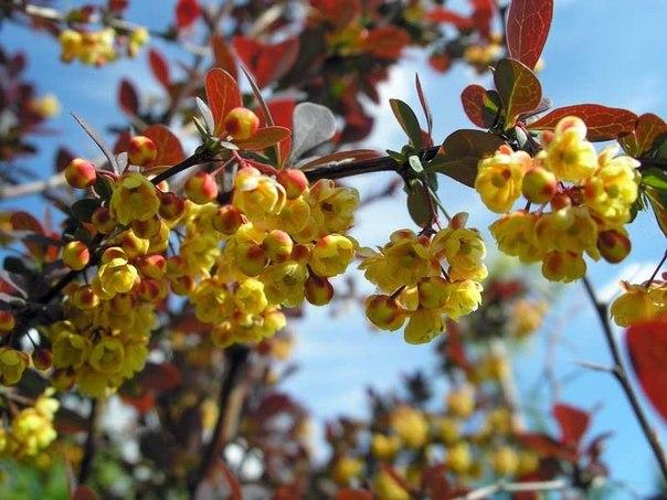 Самые красивые декоративные цветущие кустарники и деревья. Самые красивые декоративные 6