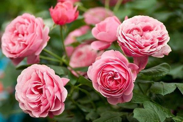 Узнаем предпочтения капризной розы