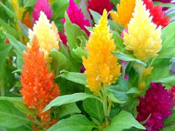 Целозия - пламенный цветок