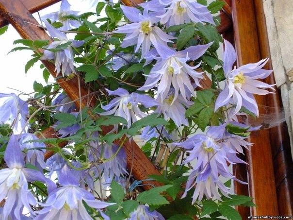 Княжики-цветущие лианы украсят ваш сад