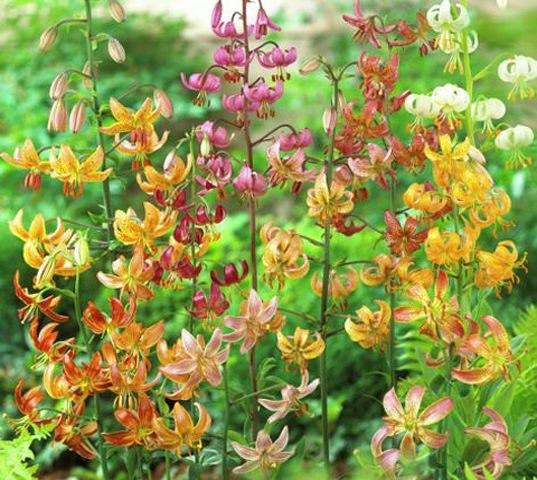Лилии мартагоны- вечные гиганты сада