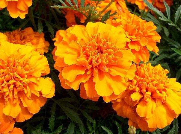 Бархатцы, это не только карасивые цветы, но и лекарство