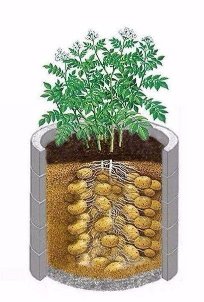 Для 6 соток: Выращиваем картофель в бочке