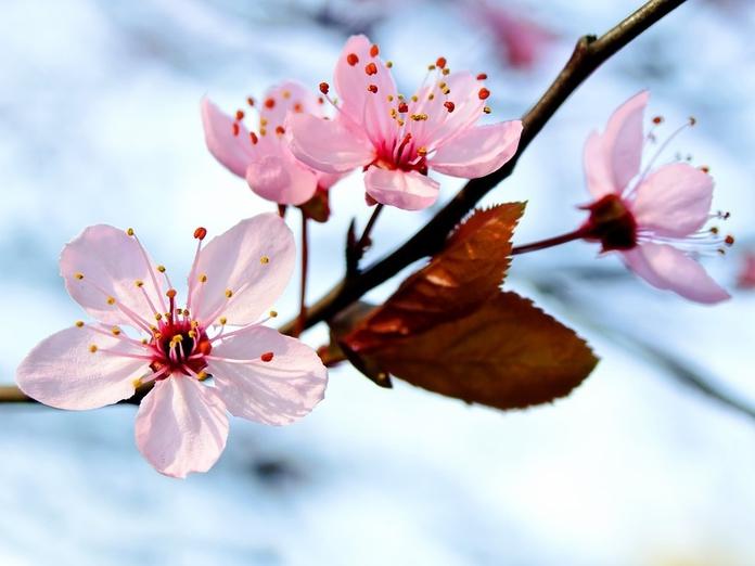 Лучшие опылители для основных сортов вишни. 14396.jpeg