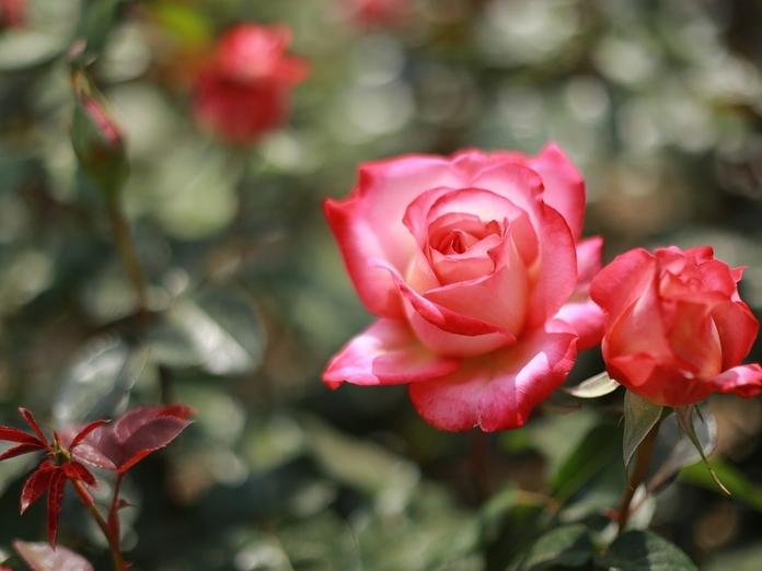 Какие розы надо высаживать только весной?. 14433.jpeg