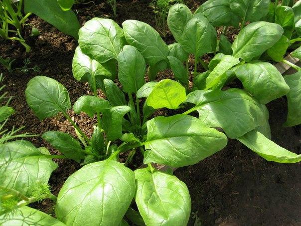 Как вырастить шпинат