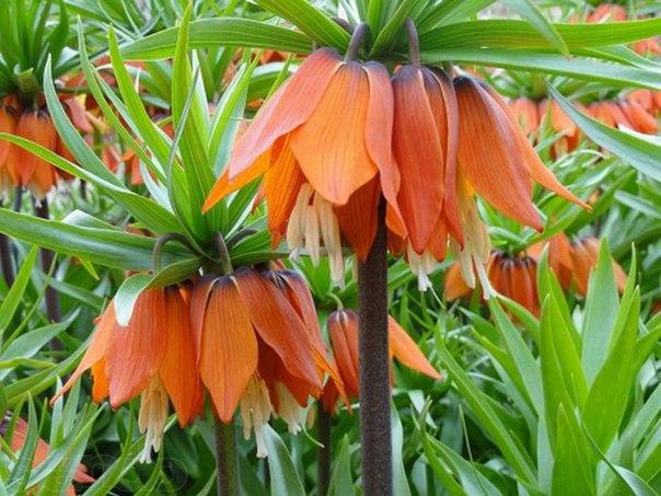 Рябчик императорский - изысканная красота в вашем саду!
