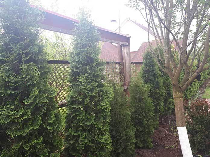 Топ-5 худших питомников растений. Двухметровые туи из питомника Эльбрус-камень Кязима Айшаева не дотягивали и половины до двух метров