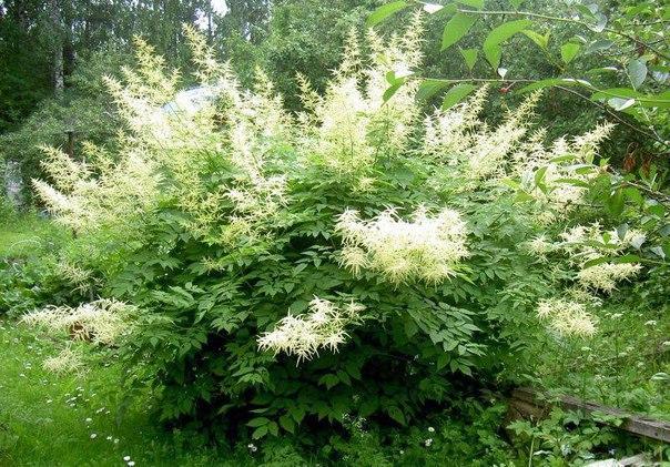 Волжанка или арункус двудомный - растение для тенистой зоны