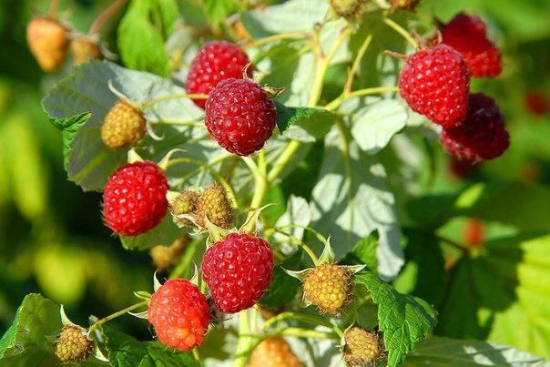 Весенняя обрезка малины увеличивает урожай. Зачем обрезать верхушки у 1