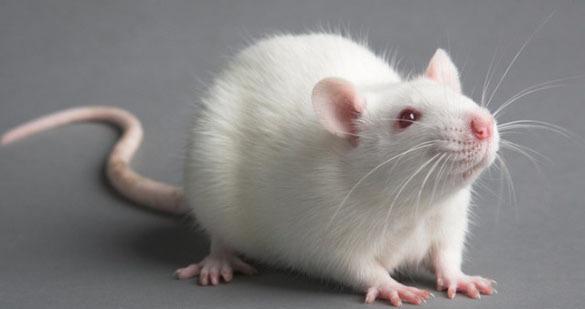 Избавляемся от крыс на участке частного дома. 14555.jpeg