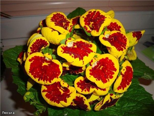 Выращивание кальцеолярии, или Башмачки цветут и осенью