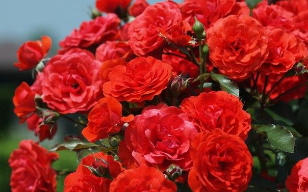 5 важных вопросов о зимовке роз