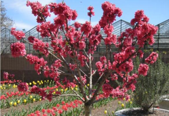 Как вырастить карликовые фруктовые деревья. 14563.jpeg