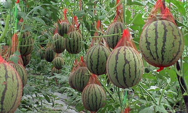 Выращивание арбузов в теплице. 12608.jpeg