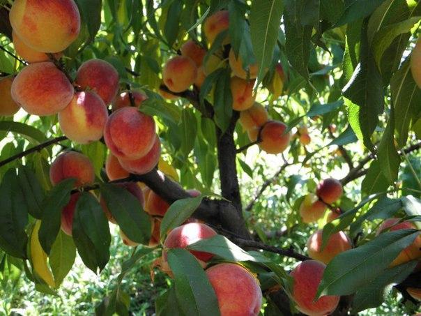 Как вырастить персик в средней полосе
