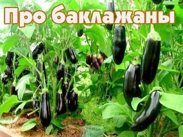 Десять заповедей для выращивания баклажан