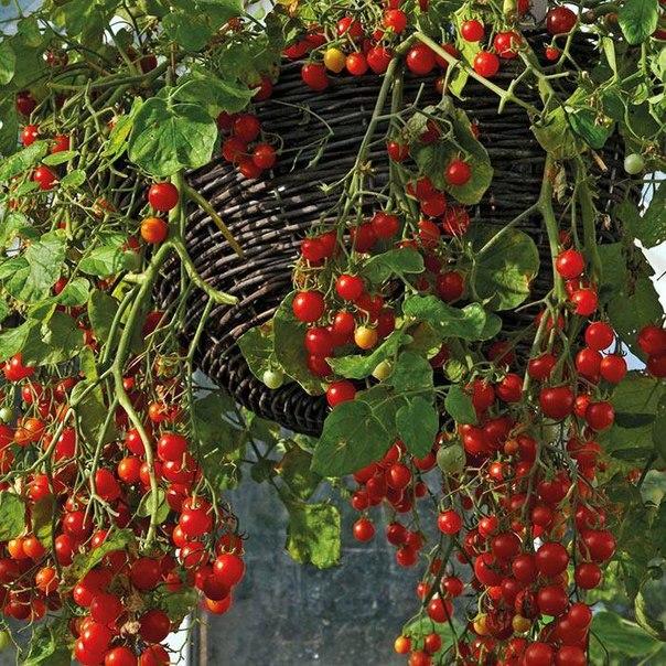 Ампельные помидоры - мой огород