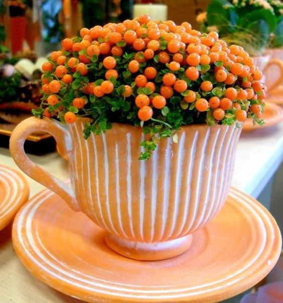 Нертера - растение для мини-садов