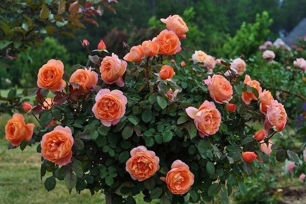Что угнетает розу, 12 причин. Что угнетает розу, 12 причин 1