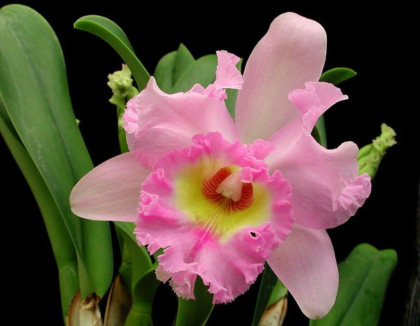 Основные условия цветения каттлеи. Основные условия цветения 4