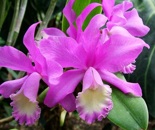 Основные условия цветения каттлеи