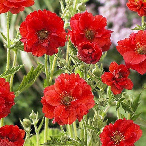 Аленький цветочек - гравилат. Аленький цветочек - гравилат 4