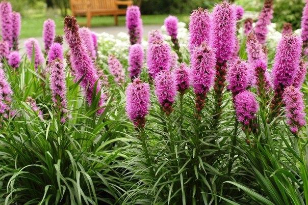 Лиатрис - цветущие свечи в саду!. Лиатрис - цветущие свечи в 1