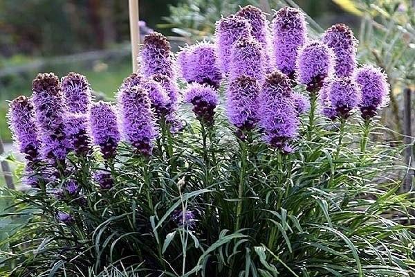 Лиатрис - цветущие свечи в саду!. Лиатрис - цветущие свечи в 3