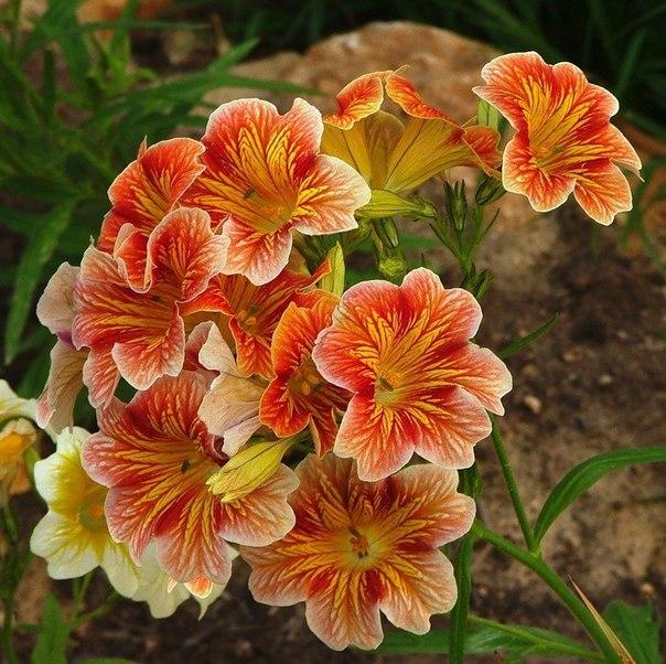 Незаслуженно забытые растения: Cальпиглоссис. Незаслуженно забытые растения 1
