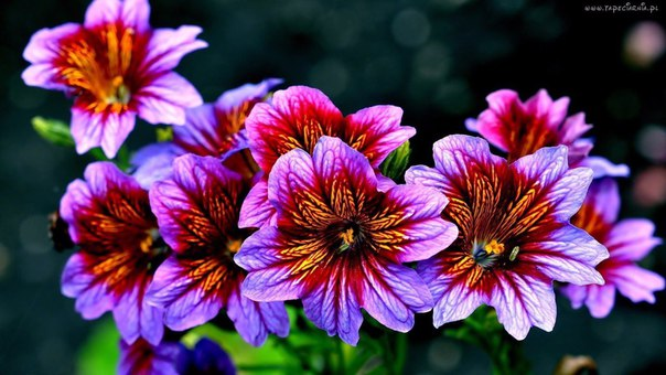 Незаслуженно забытые растения: Cальпиглоссис. Незаслуженно забытые растения 6