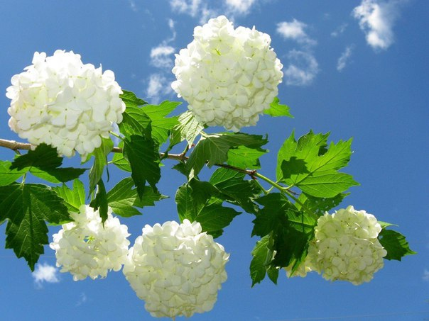 Калина Бульденеж - зимняя сказка в Вашем саду. Калина Бульденеж - зимняя 3