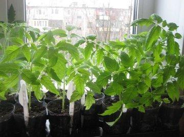 Выращивание томатов по методу Людмилы Терёхиной