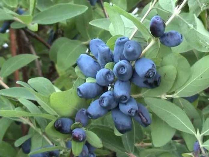 Жимолость- вкусная ягода для любых заготовок