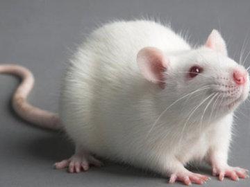 Избавляемся от крыс на участке частного дома