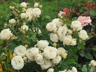 Кустовые розы - радость садовода