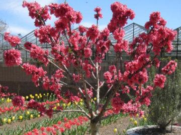 Как вырастить карликовые фруктовые деревья