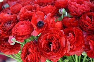 Сажаем цветы, похожие на пышные маки - ранункулюсы