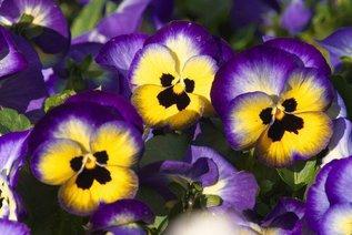 Анютины глазки: цветение ранней весной