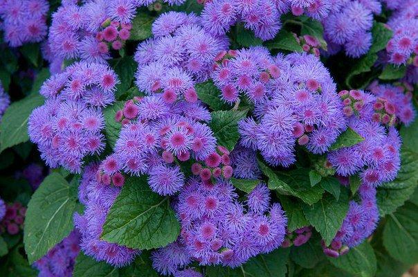 Агератум - фиолетовое долгоцветущее чудо