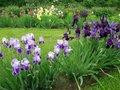 Ирисы в саду