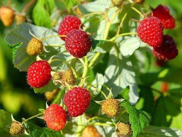 Весенняя обрезка малины увеличивает урожай