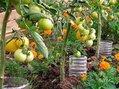 Пластиковые бутылки используем для увеличения урожая