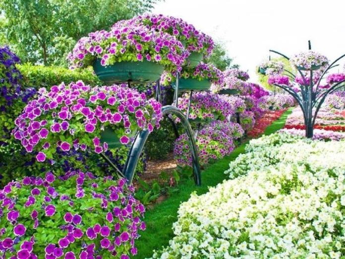 Формула обильного цветения ПЕТУНИИ